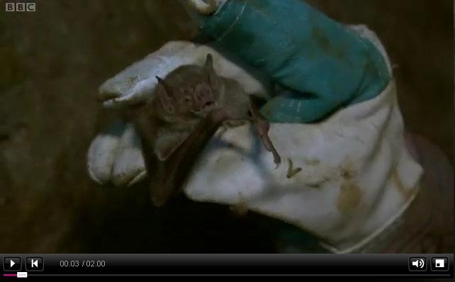vampire bat video