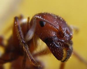 Ant Head Formicidae