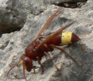 Oriental Wasp - Vespa orientalis